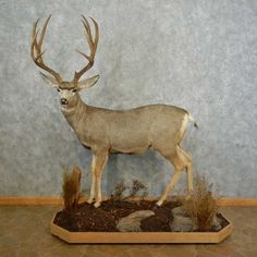 This majestic mule deer taxidermy mount is for sale and ready for your diorama @thetaxidermystore.com
