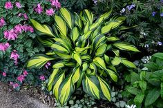 Small Cultivar Very showy and unique hosta with extreme variegation and shiny leaves. Sport of Obsession with a bright yellow center and dark green margi