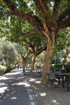 Ancient Ficus Trees on Ben-Gurion Boulevard, Tel Aviv