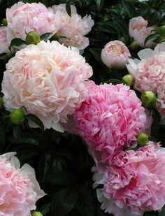 Gorgeous Flowers Garden & Love — peonies- via blossom Flowers Garden Love +피오니=모란 Peony Bush, Peony Flower, Blossom Flower, Peony Plant, Pink Flowers, Beautiful Flowers, Pink Peonies, Exotic Flowers, Beautiful Pictures