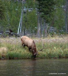 . Coyote Hunting, Pheasant Hunting, Archery Hunting, Elk Pictures, Hunting Pictures, Saltwater Fishing, Kayak Fishing, Bull Elk, Deer Hunting Blinds