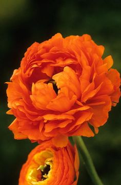 Ranunculus Double Orange