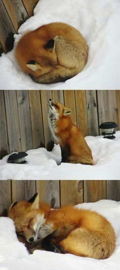 Sleepy Fox:  I've always wanted a pet fox!  Maybe my boyfriend Chris will let me get one :)