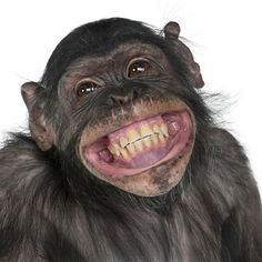 Buy Close-up of Mixed-Breed monkey between Chimpanzee and Bonobo smiling, 8 years old by Lifeonwhite on PhotoDune. Close-up of Mixed-Breed monkey between Chimpanzee and Bonobo smiling, 8 years old Primates, Smiling Animals, Funny Animals, Cute Animals, Laughing Animals, Animal Funnies, Animal Memes, Animal Pictures, Humorous Animals