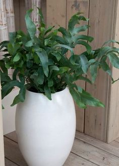 Phlebodium aureum 'Blue Star' or Hare's Foot fern Air Plants, Garden Plants, Ferns, Houseplants, Greenery, Planter Pots, Pure Products, Stars, Flowers