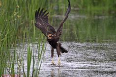 Marsh Harrier, photographed by Jim Bevan.