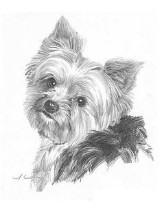 The Popular Pet and Lap Dog: Yorkshire Terrier - Champion Dogs Yorkshire Terriers, Animal Drawings, Pencil Drawings, Yorkie Terrier, I Love Dogs, Cute Dogs, Top Dog Breeds, Desenho Tattoo, Dog Tattoos