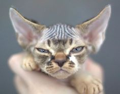 Amazing history of cat breed - Devon Rex. Diseases of Devon Rex. Cute Cats And Kittens, I Love Cats, Crazy Cats, Cool Cats, Pretty Cats, Beautiful Cats, Animals Beautiful, Cute Animals, Devon Rex Cats