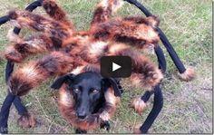 Mira aquí el perro-araña mutante que causa terror viral (Video + Susto!) - http://www.leanoticias.com/2014/09/08/mira-aqui-el-perro-arana-mutante-que-causa-terror-viral-video-susto/