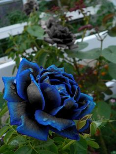 beautiful blue black rose
