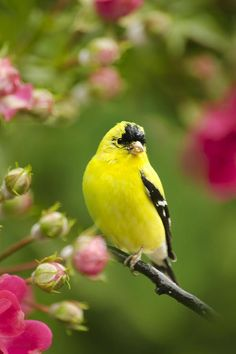Garden goldfinch. I have some of these little guys in my backyard. They remind me so much of my canaries. I love their little song.