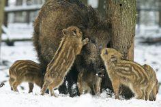 Wild boar with cubs, Nationaal park de Hoge Veluwe, Netherlands