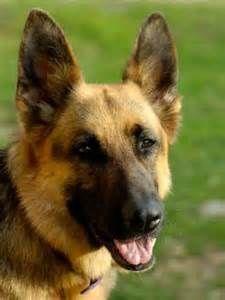 Thanksgiving  Malinois Dog Show