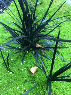 Black mondo grass and scotch moss Black Mondo Grass, Black Grass, Backyard Plan, Planting Plan, Moss Garden, Garden Maintenance, Ornamental Grasses, Shade Garden, Garden Landscaping