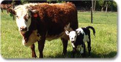 International Miniature Cattle Breeds Registry - State listing of Miniature Cattle Breeders