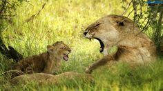 lioness-roaring-with-cub-wallpaper-1600x900.jpg (1600×900)