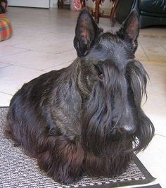What a handsome Scottish Terrier!