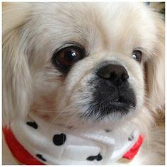 Pekingese! It reminds me of Snowball Shakira's puppy