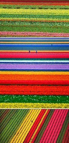 Holland, tulip farms