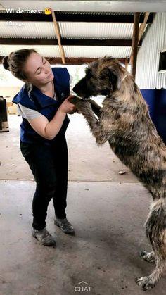 Maddi and Banshee. Irish Wolfhounds, Gentle Giant, Big Dogs, Animal Kingdom, Puppies, Friends, Boys, Animals, Amigos