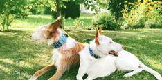 Podenco hrubosrstý Dog Collars, Animals, Wolves, Animales, Animaux, Animal, Animais