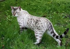 My dream cat!!  A Silver Bengal cat marked like a Snow Leopard!!