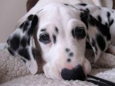 Dalmatian.......baby ava