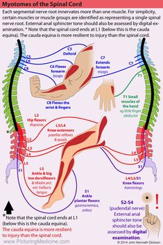 Nerve Anatomy, Human Body Anatomy, Human Anatomy And Physiology, Muscle Anatomy, Physical Therapy School, Spine Health, Medical Anatomy, Chiropractic Care, Massage Therapy