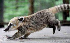 Baby Coatis