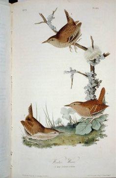 Winter Wren: The Birds of America by John James Audubon, Vol. Vintage Bird Illustration, Nature Illustration, Botanical Illustration, Audubon Prints, Audubon Birds, Birds Of America, Nature Artists, Bird Book, John James Audubon