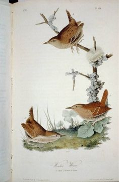 """Winter Wren: The Birds of America by John James Audubon, Vol. I, Pl. 23. London, 1827-1838, (Elephant Folio). From the John James Audubon """"Bird's in America Collection"""" in the Rare Book and Special Collections Division at the Library of Congress. For the full work see: http://hdl.loc.gov/loc.pnp/cph.3b52407"""