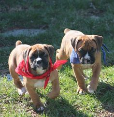 """Excellent """"boxers"""" info is readily available on our site. Read more and you wont be sorry you did. Boxer Dog Puppy, Boxer Mom, Funny Boxer, Boxer And Baby, Dog Cat, Animals And Pets, Baby Animals, Cute Animals, I Love Dogs"""