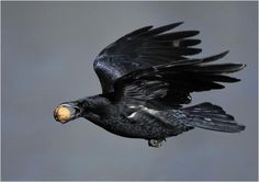 See full size of 'Flying Crow with a Nut' Spiritual Animal, Quoth The Raven, Raven Art, Jackdaw, Crows Ravens, Dark Winter, Tier Fotos, Black Feathers, Magpie