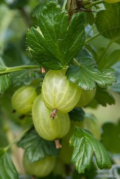 I've never actually seen a picture of a Gooseberry - I kind of thought we were the only ones that actually grew them, lol
