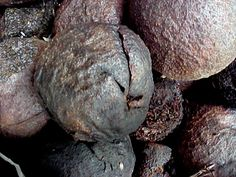 Black Walnut Hulls / Juglans nugra  Intestinal worms & parasites / Lowers high blood pressure / Lowers LDL and raises HDL cholesterol, thereby helping Diabetes