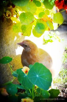 Chicken in the nasturtiums.