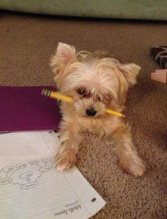 Puppy doesn't wan to eat the homework he wants to do the homework.