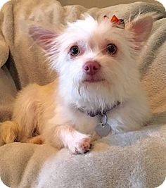 San Pedro, CA - Yorkie, Yorkshire Terrier/Maltese Mix. Meet Savannah, a dog for adoption. http://www.adoptapet.com/pet/14160397-san-pedro-california-yorkie-yorkshire-terrier-mix