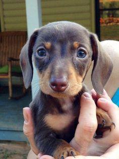 Chocolate and tan mini dachshund puppy. #Dachshund