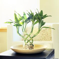 The lucky bamboo is one of the most popular feng shui cures. In traditional feng shui, the lucky bamboo is used to attract health, happiness, love and abundance. The feng shui lucky bamboo is widely used in both home and office feng shui decor solutions. Feng Shui Lucky Bamboo, Lucky Bamboo Plants, Bamboo Garden, Lucky Bamboo Care, Feng Shui Dicas, Best Bathroom Plants, Bamboo Bathroom, Bathroom Cart, Bamboo Wall
