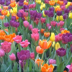 Growing up my mom had a garden full of tulips. I remember her letting me pick one to take to my teacher.