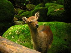 Shiratani unsuikyo world heritage forest on remote Yakushima island, apparently Miyazaki's film Princess Mononoke was inspired by this location. Yakushima, Oh Deer, Okinawa, World Heritage Sites, Japan Travel, Pet Birds, Animal Kingdom, Cute Animals, Old Things