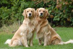 Beautiful Golden Retriever Pair