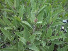Salvia con brotes florales