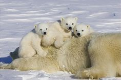 polar-bear-triplet-cubs-on-top-of-their-mother-wapusk-national-park-manitoba-canada