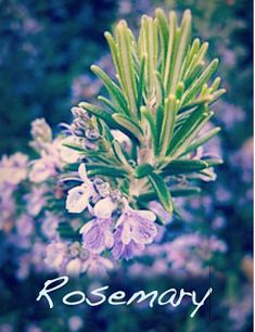 Rosemary in Magic - Rosemary is a symbol of a strong woman. It will clear your mind, improve your memory and help with learning. Rosemary is used in love spells, particularly to promote fidelity in lovers. It can be used in herbal baths for cleansing and purification. Hanging bundles of rosemary or having a rosemary plant growing near your front door will help to keep out negative energy and harmful people.