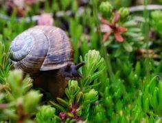 Kotilo, snail
