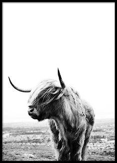 Highland cow Poster in der Gruppe Poster / Insekten und Tiere bei Desenio AB (8825)