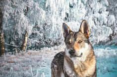 #divokavsrdci #angaszvlcejhory #czechoslovakianwolfdog #wolfdog #slovakia #slovaknature #slovak_vibes #folkmagazine #folkgood #folkvibe #superhubs #exklusive_shot #shotaward #dnescestujem #mobilemag #nature #adventure #wanderout #womenwhoexplore #lostinwild #visualoflife #dreamcometrue #lifeofadventure #wildheart #nikon #nikonphotography