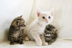 Image via We Heart It https://weheartit.com/entry/146273018 #baby #brother #cats #cute #grey #kittens #sister #small #white